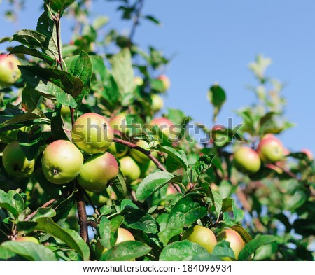 Red apples on the branch of an apple-tree in the green foliage
