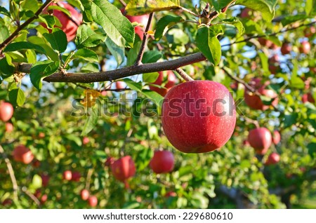 Red apples on the tree - stock photo