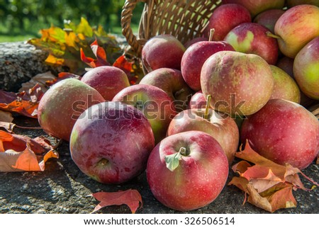 Red apples rolling out of the basket on rustic stone background with autumn leaves. Deep sharpness. - stock photo