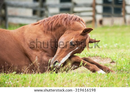 Red arabian stallion lying in the paddock