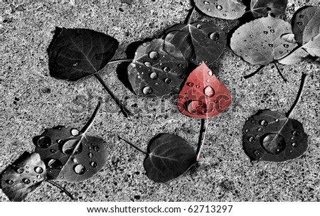 Red Aspen leaf with rain drops amongst other leaves on the ground in Mountain Village Colorado Fall of 2010. - stock photo