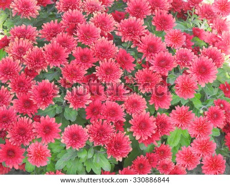 Red aster flowers background - stock photo
