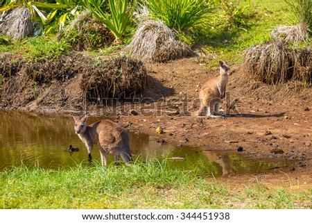 Red australian kangaroos, Macropus rufus, in famous Pebbly Beach in the Murramarang National Park, south coast region, New South Wales, Australia. - stock photo