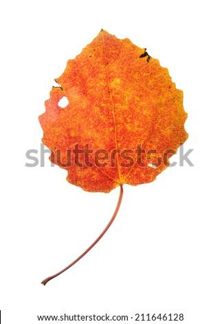 Red autumn aspen leaf isolated on white - stock photo