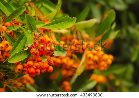 Red autumn berries of Pyracantha with green leaves, natural seasonal fall background - stock photo