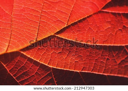 Red autumn leaf close-up