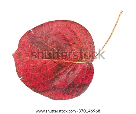 Red autumn leaf isolated on a white background - stock photo