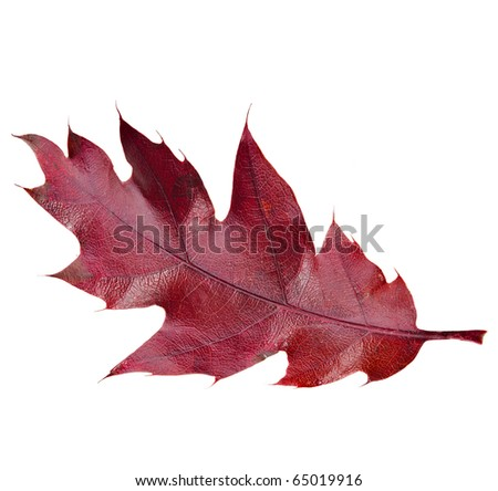 red autumn leaf Quercus rubra  isolated on white background