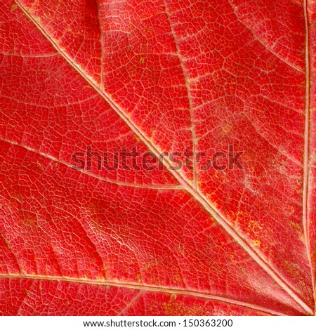 Red  autumn leaf texture - stock photo