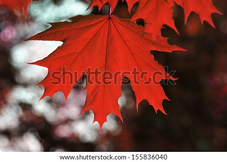 red autumn leaves - stock photo