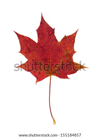 Red autumn maple leaf isolated on white background