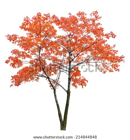red autumn maple tree isolated on white background - stock photo