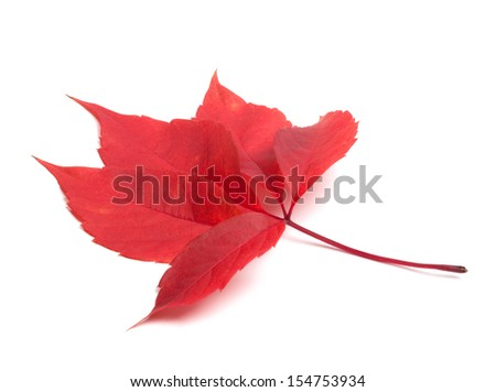 Red autumn virginia creeper leaf. Isolated on white background
