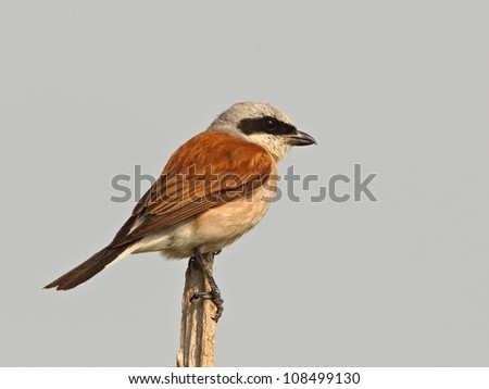 Red backed Shrike - stock photo