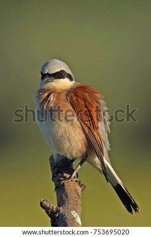 Red backed Shrike  in morning sunlight