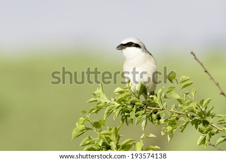 red-backed shrike in natural habitat / Lanius collurio  - stock photo