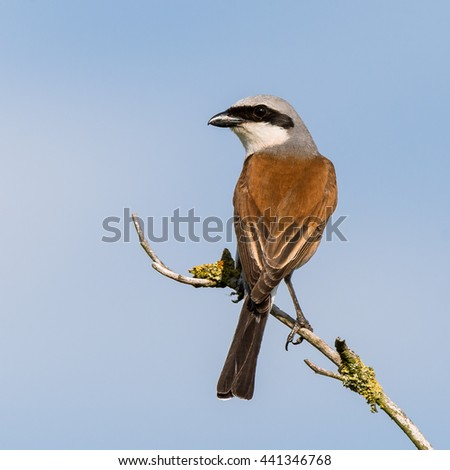 Red-backed shrike (Lanius collurio) male wildlife in nature