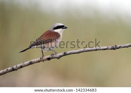 Red-backed shrike, Lanius collurio, single male perched on branch, Bulgaria, May 2010