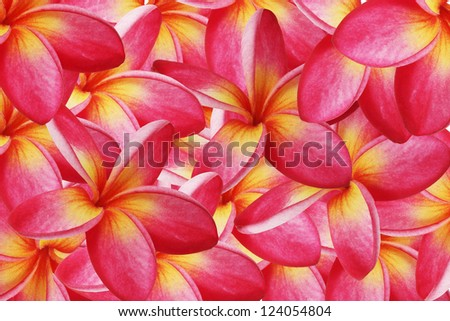 red background frangipani. - stock photo