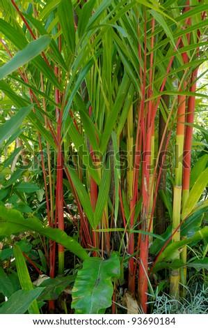 Red Bamboo in Port Douglas, Australia. - stock photo