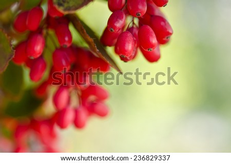 Red barberry berries on the tree