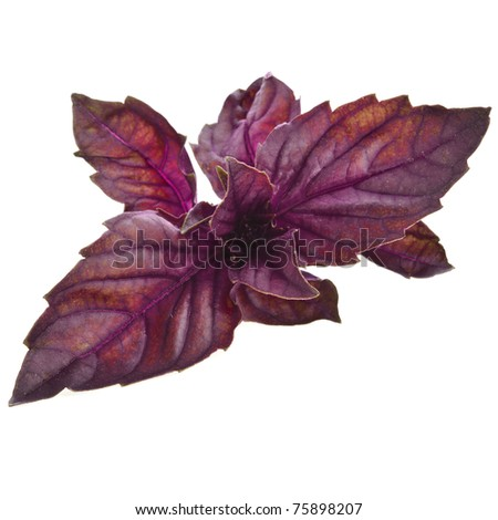 red basil herb isolated on a white background - stock photo