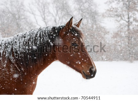 Red bay horse in heavy snow fall with snow all over her - stock photo