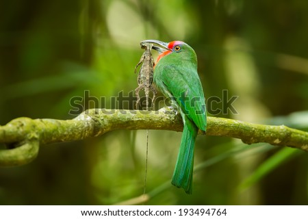 Red-bearded Bee-eater(Nyctyornis amictus)with flying tree lizard in nature of Thailand