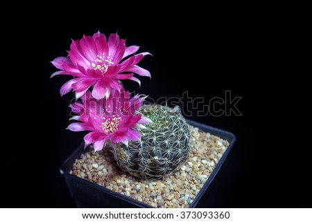 Red beautiful cactus flowers bloom on isolate black background. - stock photo