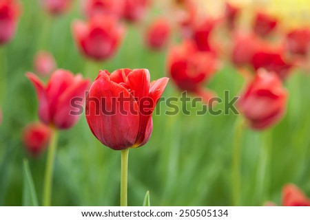 Red beautiful tulips field in spring time, floral easter background - stock photo