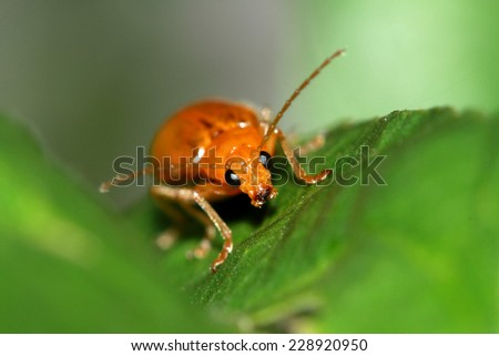 Red beetle on leaf - stock photo