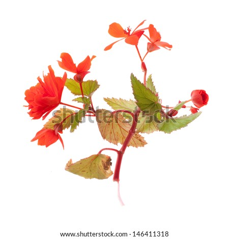red begonias twig isolated on white background - stock photo