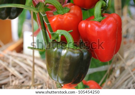Red bell peppers growing in the farm - stock photo