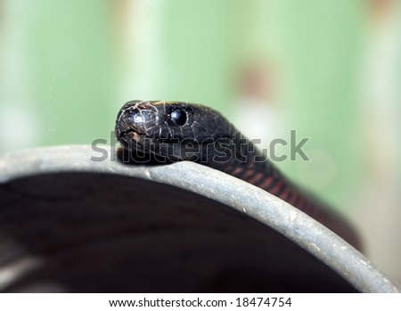 red bellied blacksnake