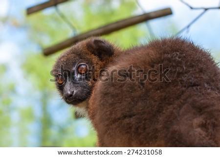 red bellied lemur - stock photo