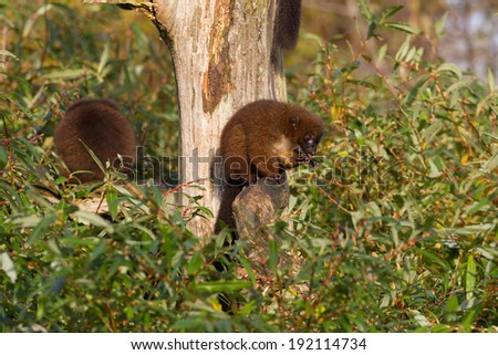 Red-bellied Lemur (Eulemur rubriventer) in a tree cleaning himself - stock photo