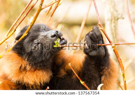Red-bellied Lemur (Eulemur rubriventer) is eating - stock photo