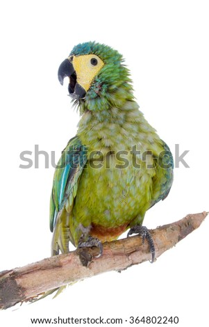 Red-bellied macaw, orthopsittaca manilata, isolated on white background - stock photo