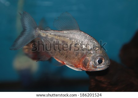 Red-bellied pacu freshwater aquarium fish - stock photo
