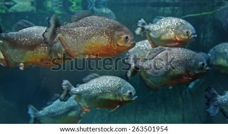 Red bellied piranha (Pygocentrus nattereri) - stock photo