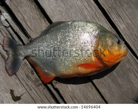 Red-bellied piranha, red piranha, Pygocentrus nattereri, fished in a tributary of the Amazon River, Brazil