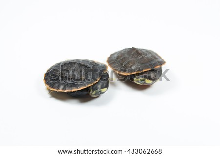 red bellied turtle on white background