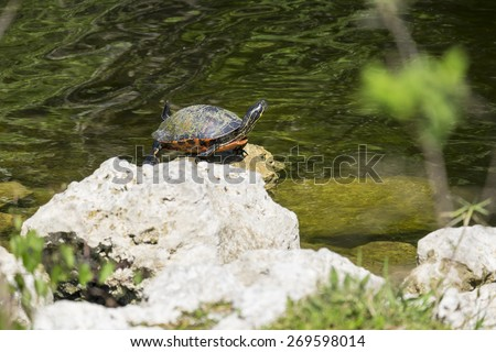 Red-bellied Turtle Sitting on a Rock by a River - stock photo