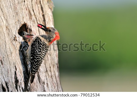 red-bellied woodpecker bringing seeds to chick in nest hole - stock photo