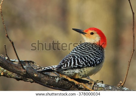 Red Bellied Woodpecker - Exotic Colorful Wild Bird Background - Colors in Nature