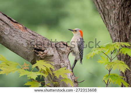 Red bellied woodpecker in a maple tree. - stock photo