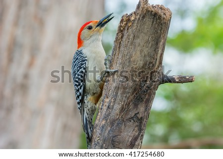 Red-bellied woodpecker on a rustic tree limb. - stock photo
