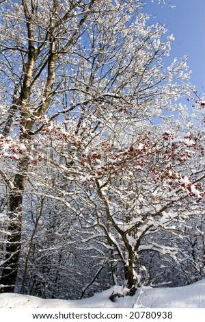 red berries and snow winter scene - stock photo