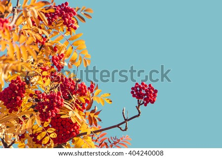 Red berries and yellow autumn leaves on a rowan tree in october - stock photo
