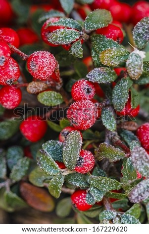 Red berries (cotoneaster horizontalis) under frost. Selective focus - stock photo